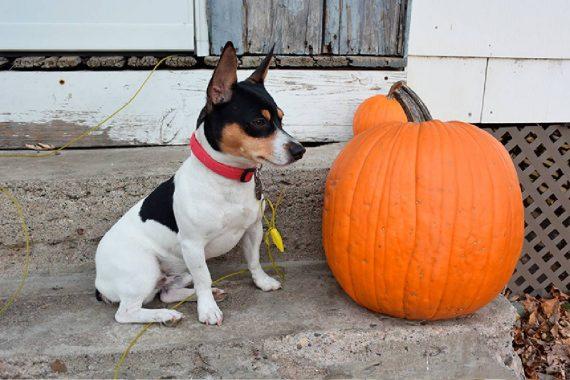 Todo sobre el Teddy Roosevelt Terrier: cría, cuidado y adiestramiento