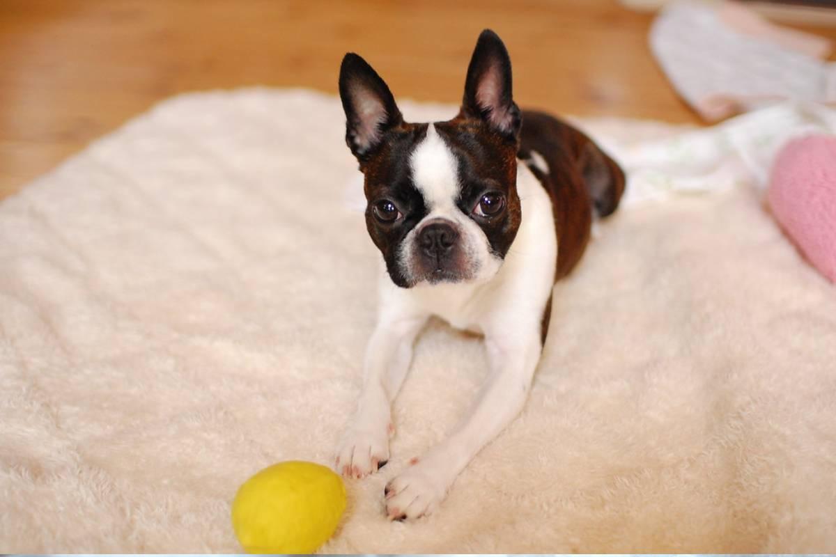 Todo sobre el Boston Terrier: cría, cuidado y adiestramiento