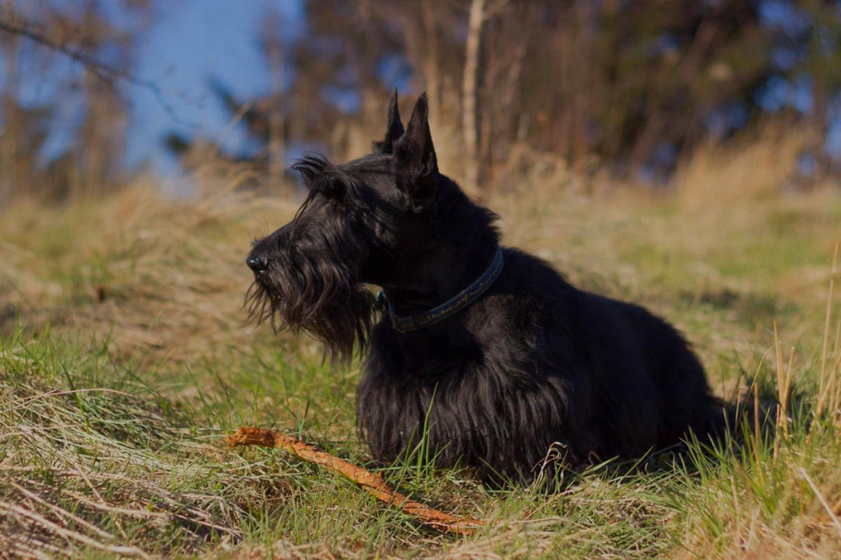 Todo sobre el Terrier Escocés: cría, cuidado y adiestramiento