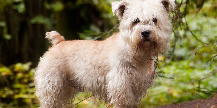 Todo sobre el Glen of Imaal Terrier: cría, cuidado y adiestramiento