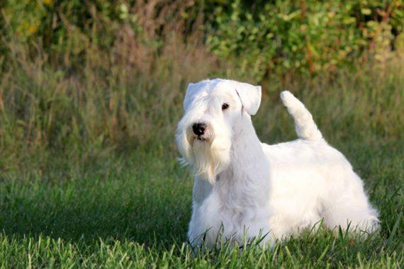 Todo sobre el Sealyham Terrier: cría, cuidado y adiestramiento