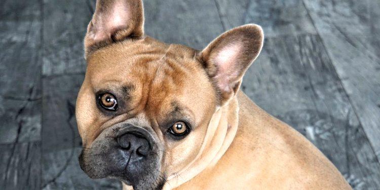 Todo sobre el Bulldog Francés: cría, cuidado y adiestramiento