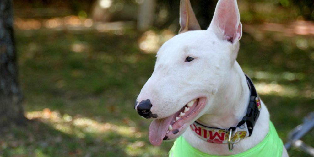 Todo sobre el Bull Terrier: Cría, cuidado y adiestramiento