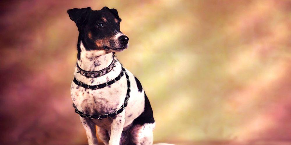Todo sobre el Jack Russell Terrier: cría, cuidado y adiestramiento